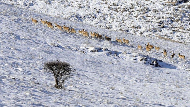 Anadolu yaban koyunları