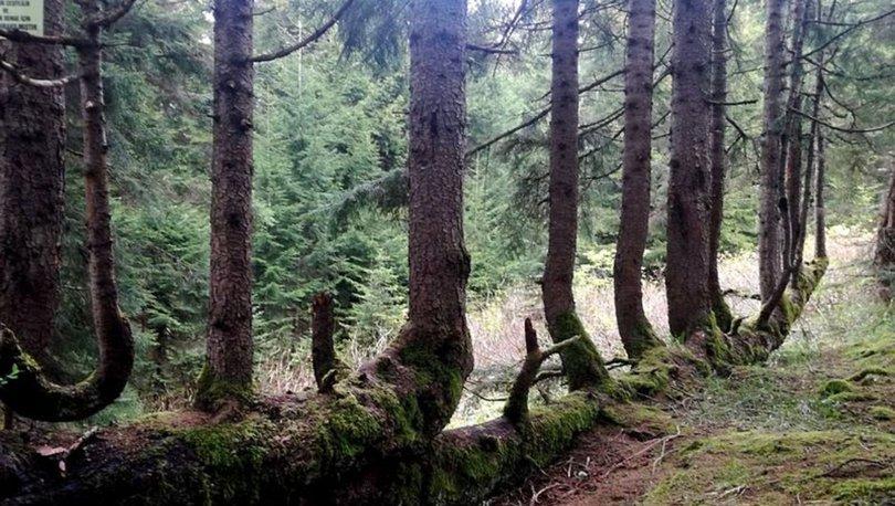Gövdesinden 17 ağaç yetişen ladin şaşırtıyor