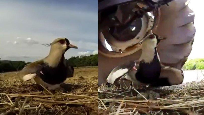 Dişi kuş yumurtalarını traktörden böyle korudu