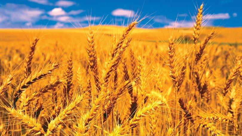 Buğday fiyatı