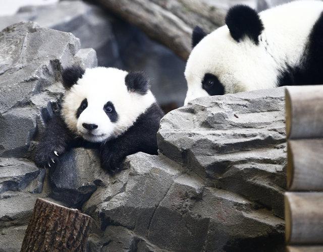 İkiz pandalar basın mensuplarının karşısına çıktı