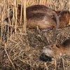 Kökenleri Latin Amerika ama... Esrarengiz fareler