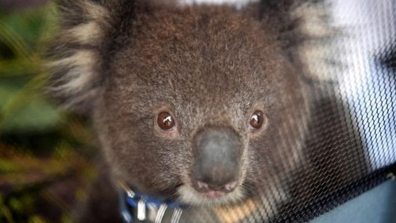Avustralya yangınları: Ülkede kereste için onlarca koala öldürüldü, hayvan katliamı büyük öfke yarattı