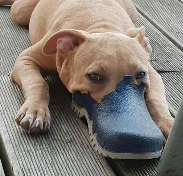 Köpeklerin terliklerle imtihanları!
