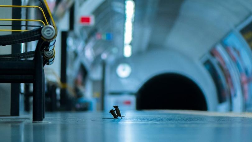 Doğal yaşam fotoğrafları: Dövüşen metro fareleri halk jürisi ödülünü kazandı