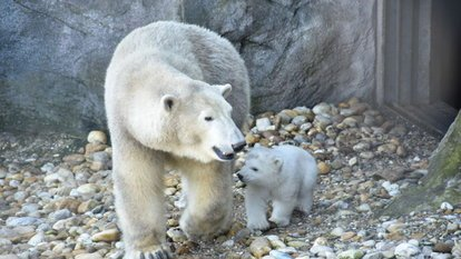 yavru kutup ayısı