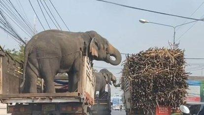 Şeker kamışı çalan filler