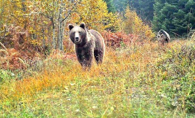 Küre Dağları'nda yaban hayvanları fotokapanla görüntülendi