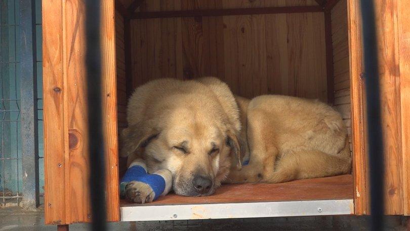 Büyükçekmece'de otomobilin arkasına bağlanıp sürüklenen köpek sahiplendirildi!