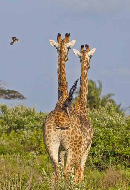 İSimangaliso Milli Parkı, yaban hayatı şöleni sunuyor