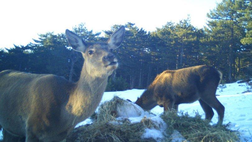 Kızıl geyiklerin beslenme anları fotokapanla görüntülendi