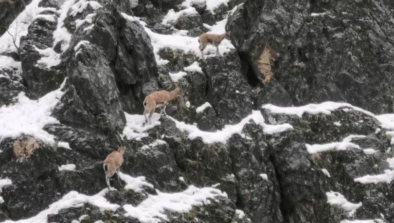 dağ keçisi sürüsü