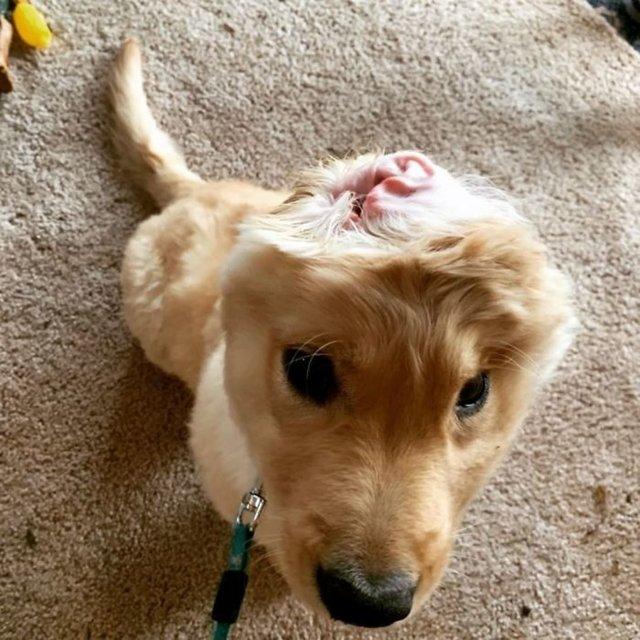 Kazada tek kulaklı kalan köpek yavrusu fenomen oldu