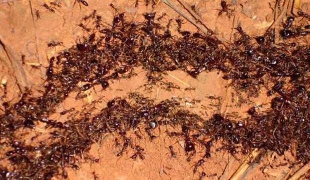 Karınca İstilası nerede? Karınca istilası kıyamet alameti mi? İşte görüntüleri...