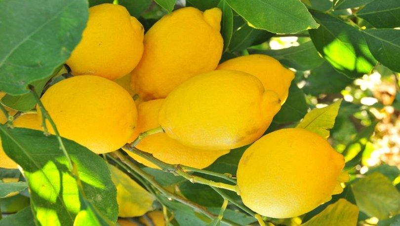 Koronavirüs limon satışını patlattı! Dalında kilosu 5 liraya çıktı! - Haberler