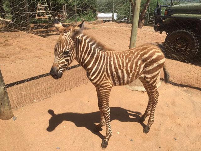 Zebra bakıcısını annesi zannediyor