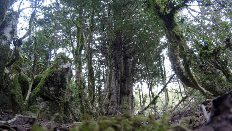 2 bin 500 yıllık ağaç