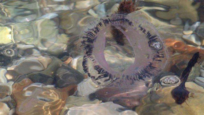 pergelli denizanası