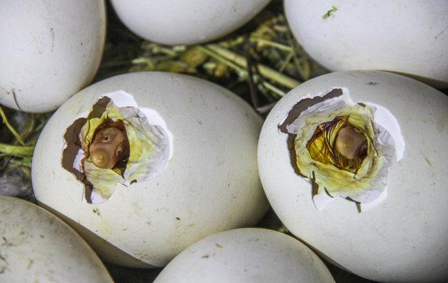 Yumurtadan çıkma anları kameraya yansıdı