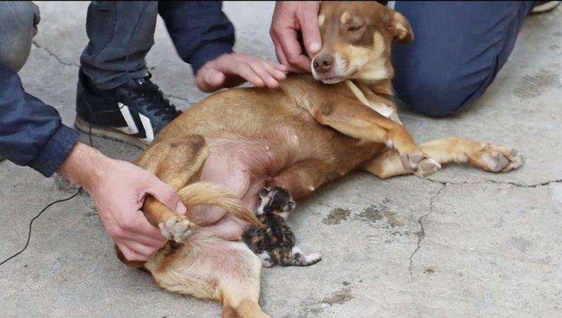 Annesiz kalan kedi yavrusunu köpek sahiplendi