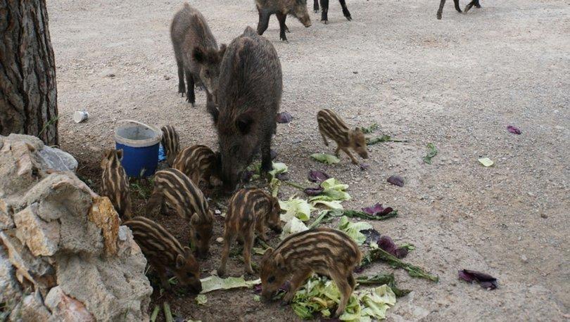Bodrum'da ilçe merkezine inen yaban domuzlarına gıdalı önlem - Haberler