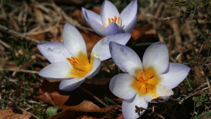 Keşfettiği endemik bitki türü, 'Keltepe çiğdemi' adıyla literatüre girdi
