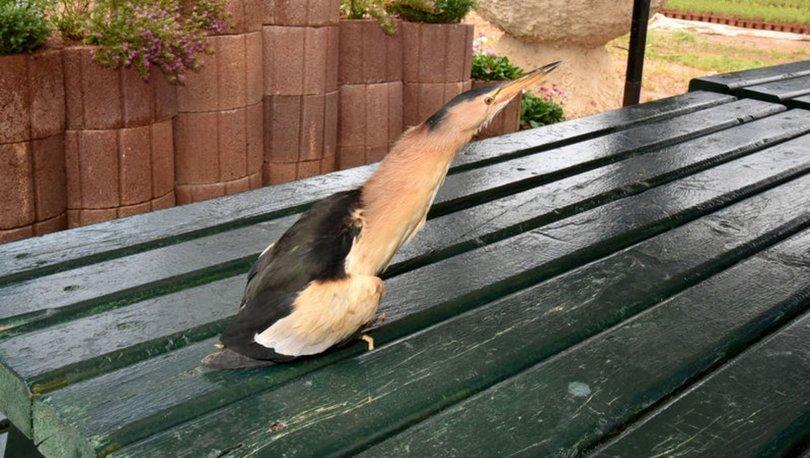 Mersin'de bulunan yaralı balaban kuşu koruma altında