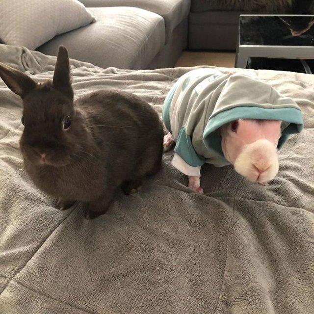 Tüysüz tavşan Mr. Bigglesworth Instagram'da fenomen oldu