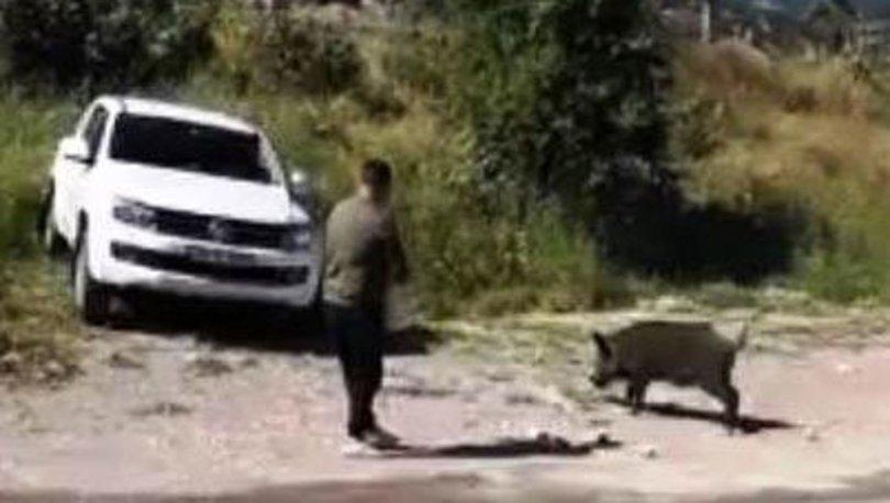 Bodrum'a inen domuzu elleriyle besliyorlar