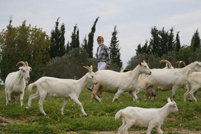 Çocukluk hayalini keçi çiftliğiyle gerçekleştirdi