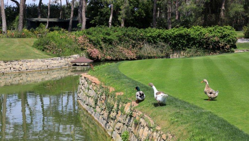 Koronavirüs nedeniyle boşalan golf sahalarında ördekler yürüyor