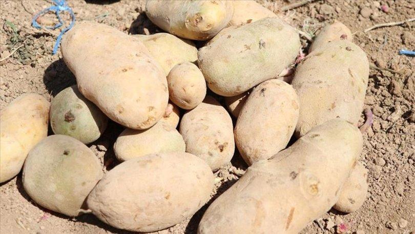Gıda sanayisi için yerli iki patates çeşidi geliştirildi