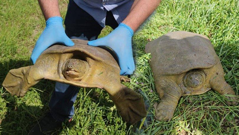 Fırat kaplumbağası