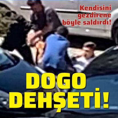 Dogo dehşeti! Kendisini gezdirene saldırdı
