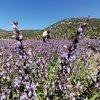 Ada çayı çiçeklerinin görsel şöleni