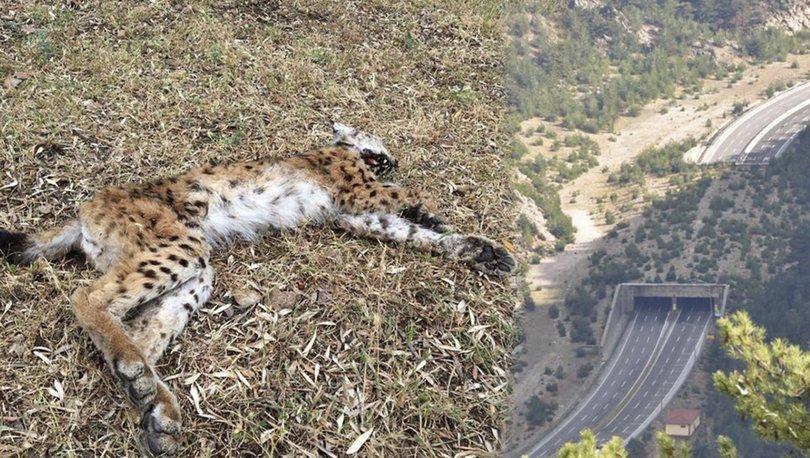 Son dakika haberler! Vaşak ölü bulundu, uzmanlar ekosistem köprüsü uyarısında bulundu
