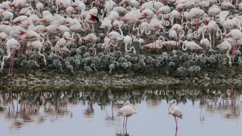 yavru flamingolar