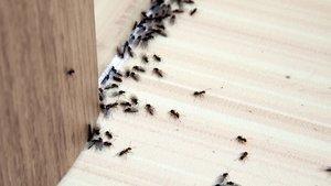 Karıncaların girdikleri yollara serpin! İşte sonuç