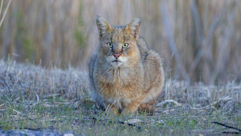 Evcil kedilerden çok daha büyük! Şans eseri görüntüledi... - Haberler