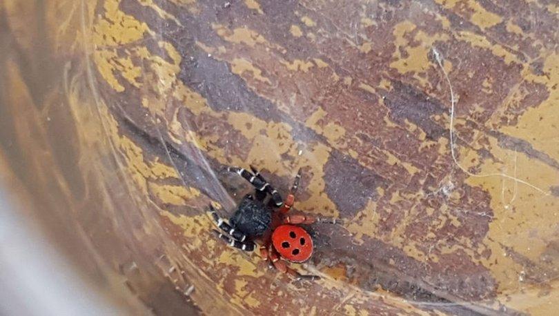 zehirli uğur böceği örümceği