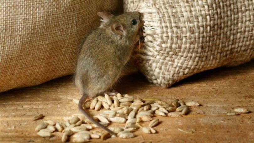 Evdeki fareden kurtulma yöntemleri nelerdir? Nasıl yakalanır?