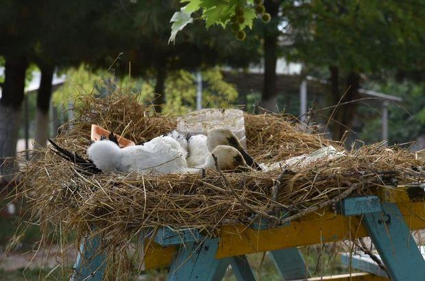Yuvadan düşen leylekler korumaya alındı