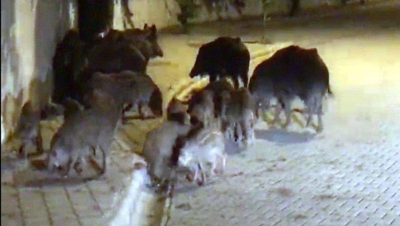 marmaris'te görülen domuz sürüleri