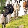 Küçük kapasiteli hayvancılara yem desteği
