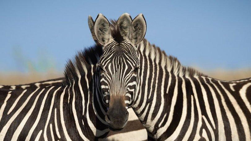 Hangi zebra kameraya bakıyor