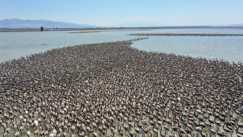 flamingo yavruları