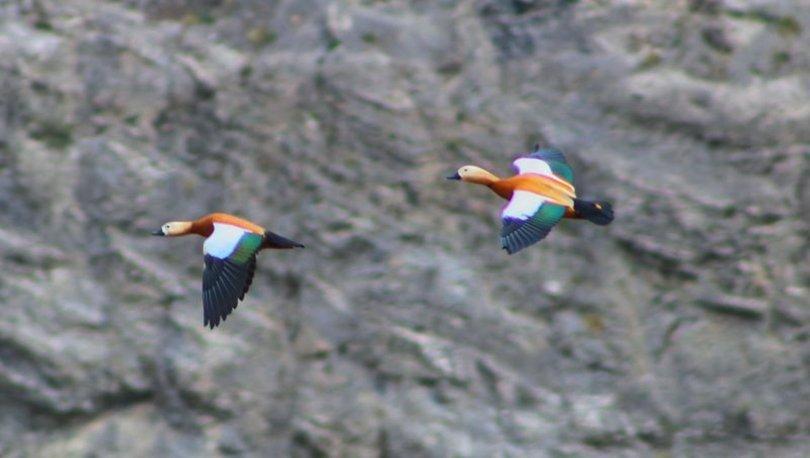 Eşlerine sadakati ile bilinen Angut kuşları görüntülendi