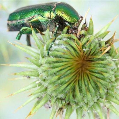 Iğdır'da altın böceklerinin beslenme anı görüntülendi