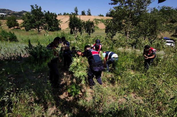 Ormanlık alanda binlerce Hint keneviri ele geçirildi