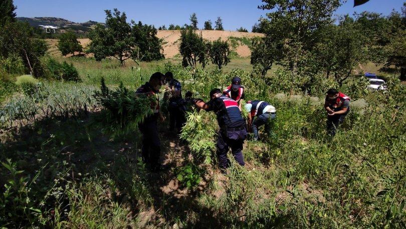 Ormanlık alanda binlerce kök Hint keneviri ele geçirildi